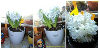 Hyacinth bantet krn kurang air, metannya kering banget, saya rendam air potnya, cihuyy naik kan