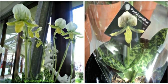 Paphiopedilum maudiae Femma. Anggrek selop yang di jual di Keukenhof Belanda. Saya punya jenis ini cuma belum berbunga. Slipper orchids paphiopedilum