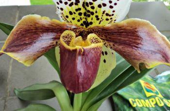 paphiopedilum complex hybrid orchids