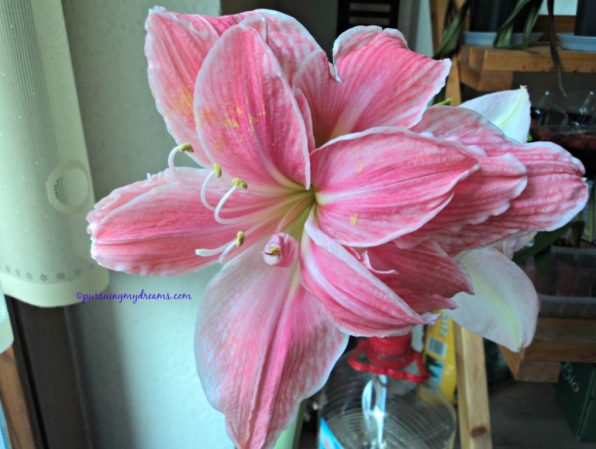 Sweet Nymph Amaryllis. Picture was taken on January 2015