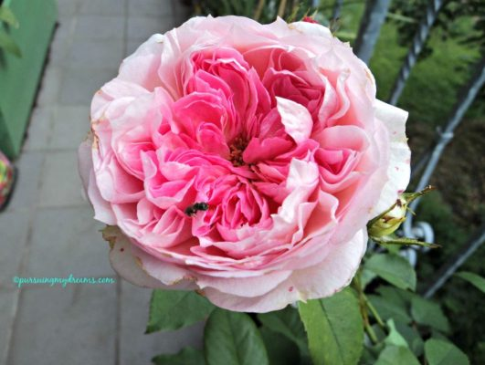 Kurfürstin sophie rose