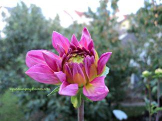 Dahlie Seerosenblüte Onesta