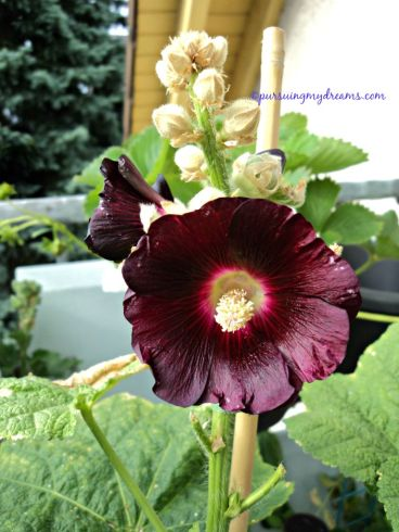 Hollyhocks flower. Alcea rosea Nigra. Stockrosen schwarz. Picture was taken on June 2015