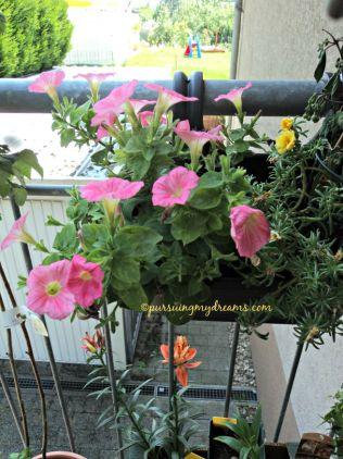 Petunia diskonan cuma 50 cent, pas beli bunganya rontok, rawat bbrp hari wahhh ramee bunganya. Sebelahnya moss rose flower