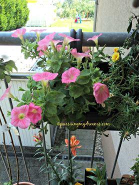 Petunia diskonan cuma 50 cent, pas beli bunganya rontok, rawat bbrp hari wahhh ramee bunganya