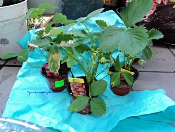 Dua tanaman stroberi elsanta, 1 stroberi raspberry. Katanya bentuk stroberinya seperti raspberry