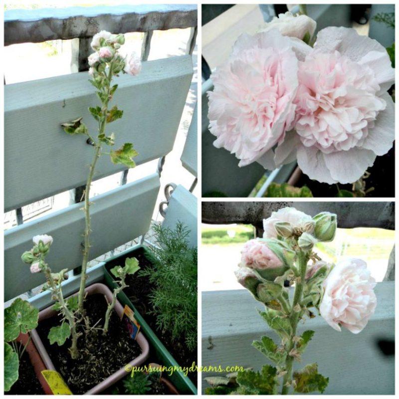 Hollyhocks pink dalam bahasa Jerman disebut Stokrose. Ini dari tahun lalu, tahan winter. Thn ini warna pinknya pucat