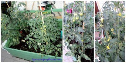 Tanaman tomatku, ada 4 jenis, yakni tomat daging, tomat kuning, tomat lonjong dan tomat cherry. Rame bunga dan buahnya