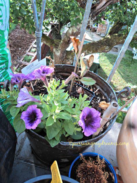 Petunia bicolor