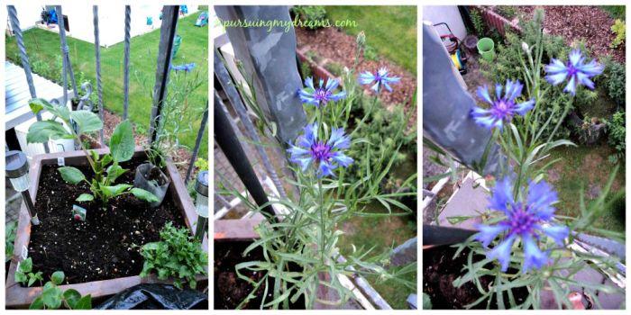 Kornblumenblau (Centaurea cyanus) commonly known as cornflower, bachelor's button, bluebottle.