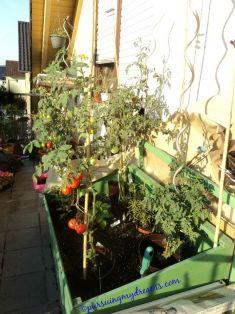 Tomat-tomat sudah mulai merah, beberapa sudah siap dipanen
