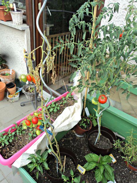 Satu tanaman tomat mati, layu dengan sendirinya