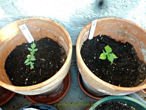 kiri tanaman tomat cherry, kanan chilli habanero, keduanya nanam dari bibit