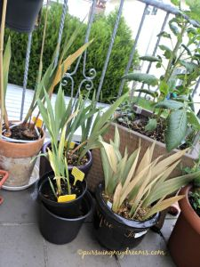 Bunga gladiol yang gagal berbunga. Cuaca sudah dingin tidak ada harapan lagi nunggu berbunga. Bunga akan muncul setelah daunnya berjumlah 7 helai