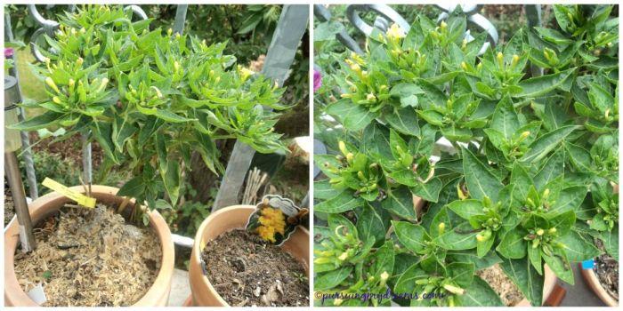 Bunga Pukul 4 yang ditanam di tempat panas. Bunganya banyak hanya dibagia atas