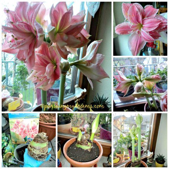 Sweet Nymph Amaryllis. Amarylis dobel flower yang cantik. Mekar Januari 2015, akhir september di dormat dulu 6 minggu