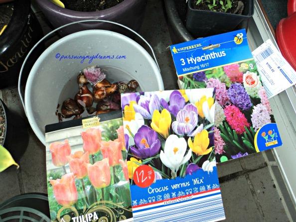 Menanam Bibit Bunga Musim Semi 2016. 2 tahun berturut-turut nanam tulip selalu kurang air jadi tidak muncul bunga, makanya tahun ini saya rendam dulu umbinya