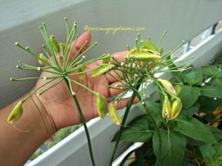 Bunga Agapanthus yang telah matang menghasilkan biji