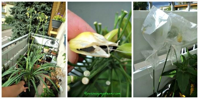 Bunga Agapanthus  sudah selesai berbunga menghasilkan biji yang bisa ditanam lagi