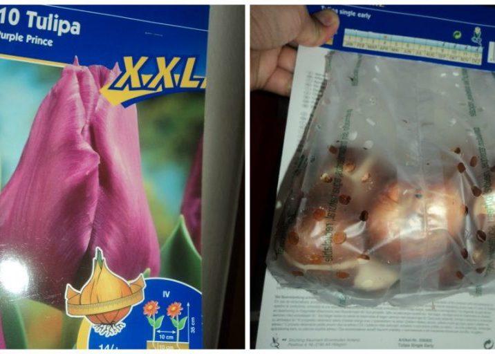 Tulip xxl purple prince