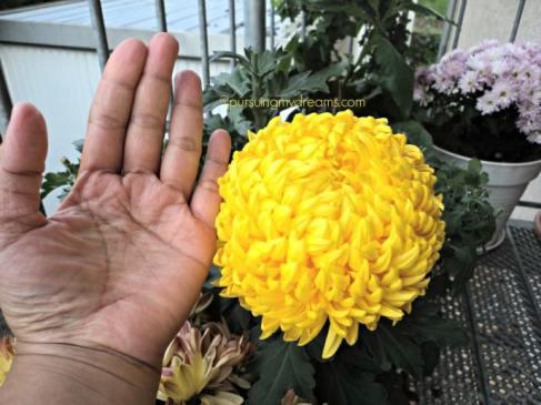 Besar sekali bunga krisan satu ini