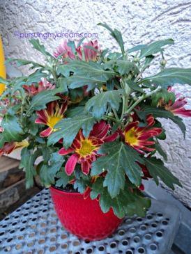 Chrysanthemum Indicum Hybride