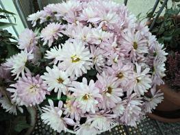 Bunga krisan atau mums adalah salah satu bunga khasnya musim gugur