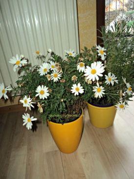 chrysanthemum frutescens yang dikenal sebagai Paris daisy atau marguerite daisy
