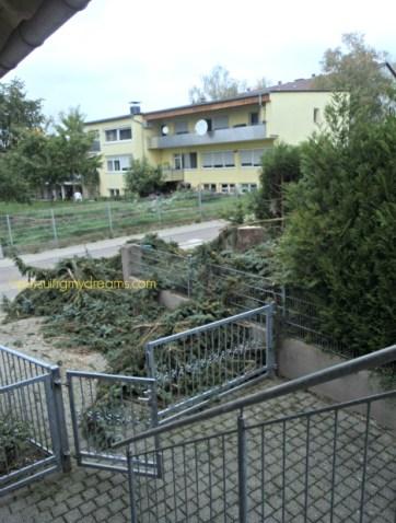 Pohon pinus tetangga umur 46 tahun ditebang rata