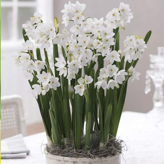 Narcissus Ziva dikenal juga sebagai paperwhites. Popular for indoor forcing. Photo source https://de.pinterest.com/pin/374924737704363306/