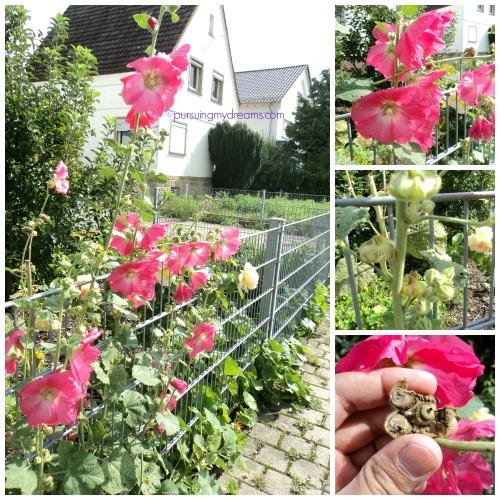 Bunga Hollyhock  di taman orang, karena dipinggir jalan bisa diambil bijinya saat kering hehe
