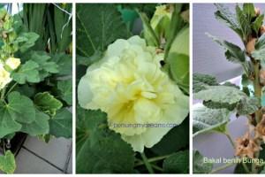 Bunga Hollyhock dobel flower kuning