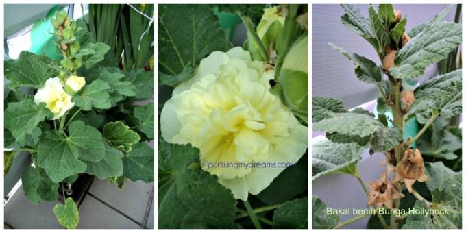 Bunga Hollyhock dobel flower kuning. Bakal benih diambil kalau podsnya sudah mengering foto kanan
