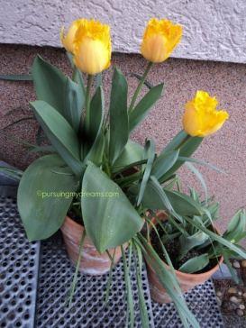 Tulip crispa cirinya ujung bunga bergerigi