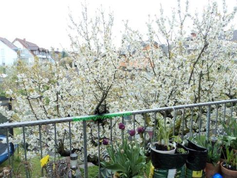 Cantiknya pohon Cherry tetanggaku ini sudah mekar semua bunganya