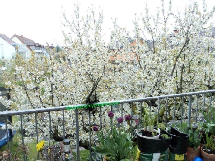 Cantiknya pohon Cherry tetanggaku ini sudah mekar semua bunganya. NIh setelah salju sedikit luntur pas siang