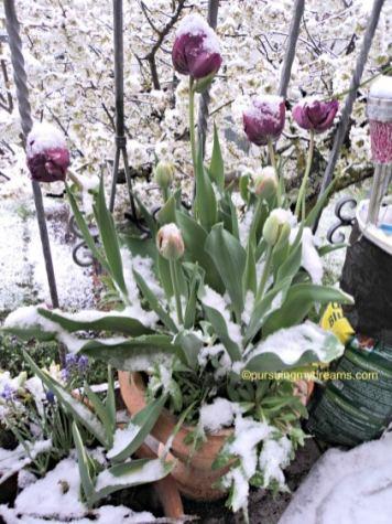 Tulip biru dobel flower sudah mekar sempurna, tinggal yang orange siap-siap mekar