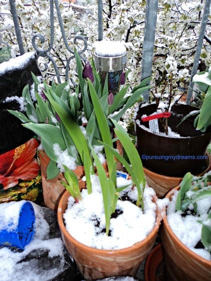 Gladiol bunga musim panas kena salju semoga bertahan yaa