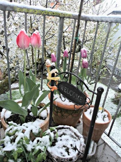 Van eijk tulips yang pink dan tulip ungu kedua jenis tersebut xxl tulip