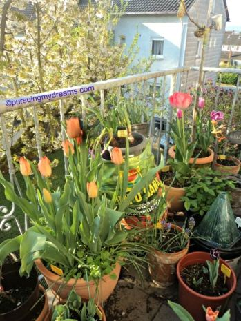 Tulip-tulipku di balkon belakang