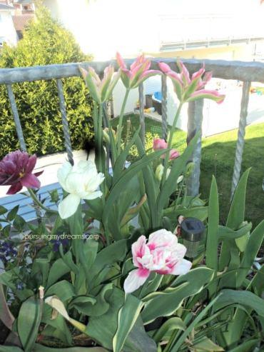 Tulip dobel flower mix dan yang tinggi tengah adalah tulip virichic