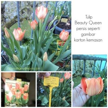 Tulip beauty queen si orange yang cantik