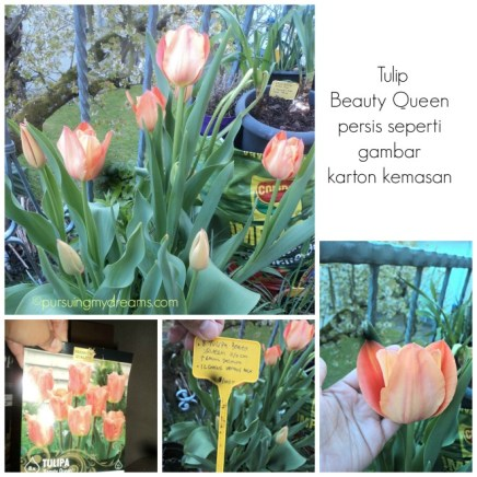 Tulip beauty queen si orange yang cantik
