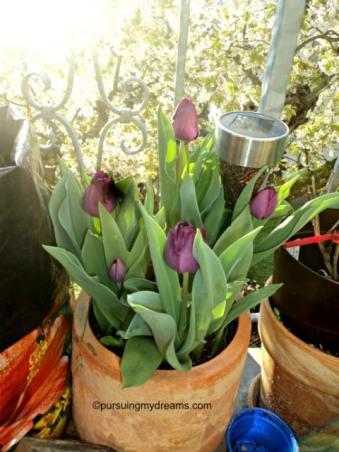 tidak tahu tulip hitam atau ungu. Name tagnya di cabut si Benjamin huhu