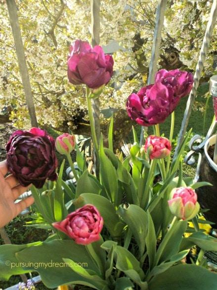 Tulip blue diamond dan Angelique pink keduanya dobel flower. Tulip paling cakep tahun ini, happy happy me :)