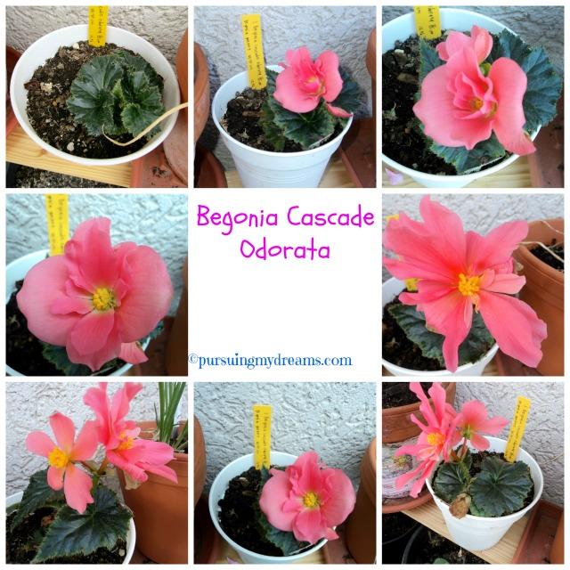 Begonia cascade odorata
