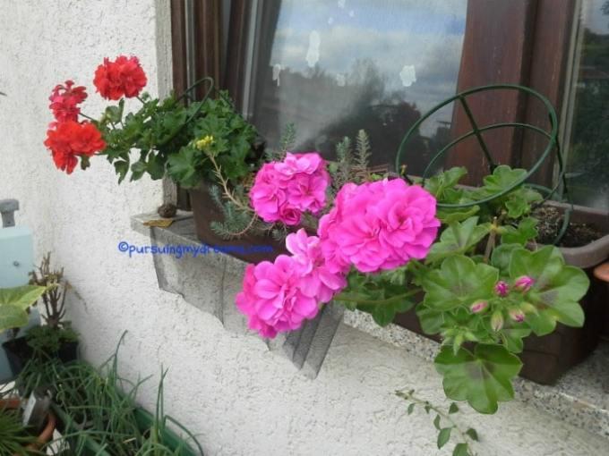 Geranium gantung di balkon depan. Bunganya berlapis. Geranium ini beli jadi supaya cepat berbunga, kalau nanam sendiri dari bibitnya bakal lama muncul bunganya, keburu datang winter