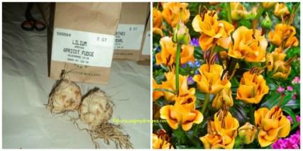 Lili Apricot Fudge kiri umbinya kanan gambar katalog
