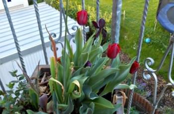 Allium flower and tulips combination