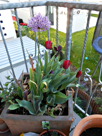 Kebun Balkonku Saat Musim Semi
